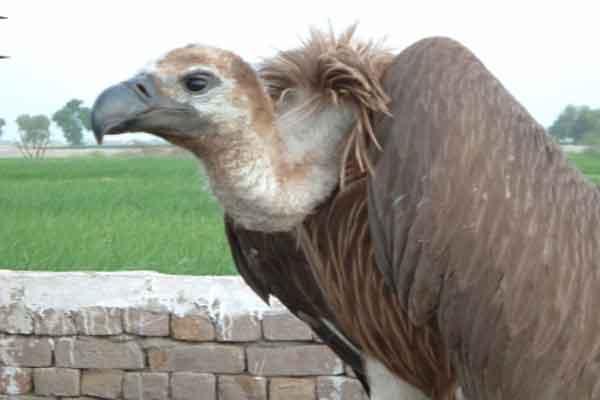 India-vultures-rule-skies