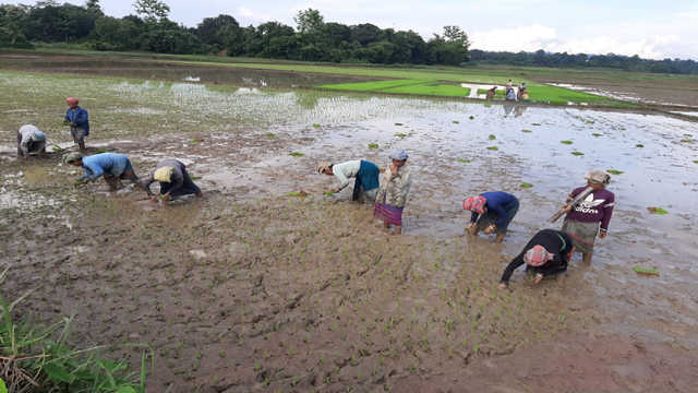 Farmers are planting paddy seedlings at a village under Karbook in Gomati district, Tripura