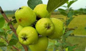 Youth-grows-Apples-in-Tripura-Waiting-for-taste-test